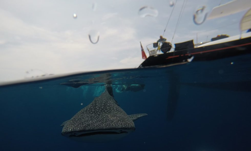 Swimming with Whale Sharks in West Papua